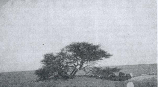 Тенере ағашы. Талдың 1939 жылғы фотосы ©amusingplanet.com